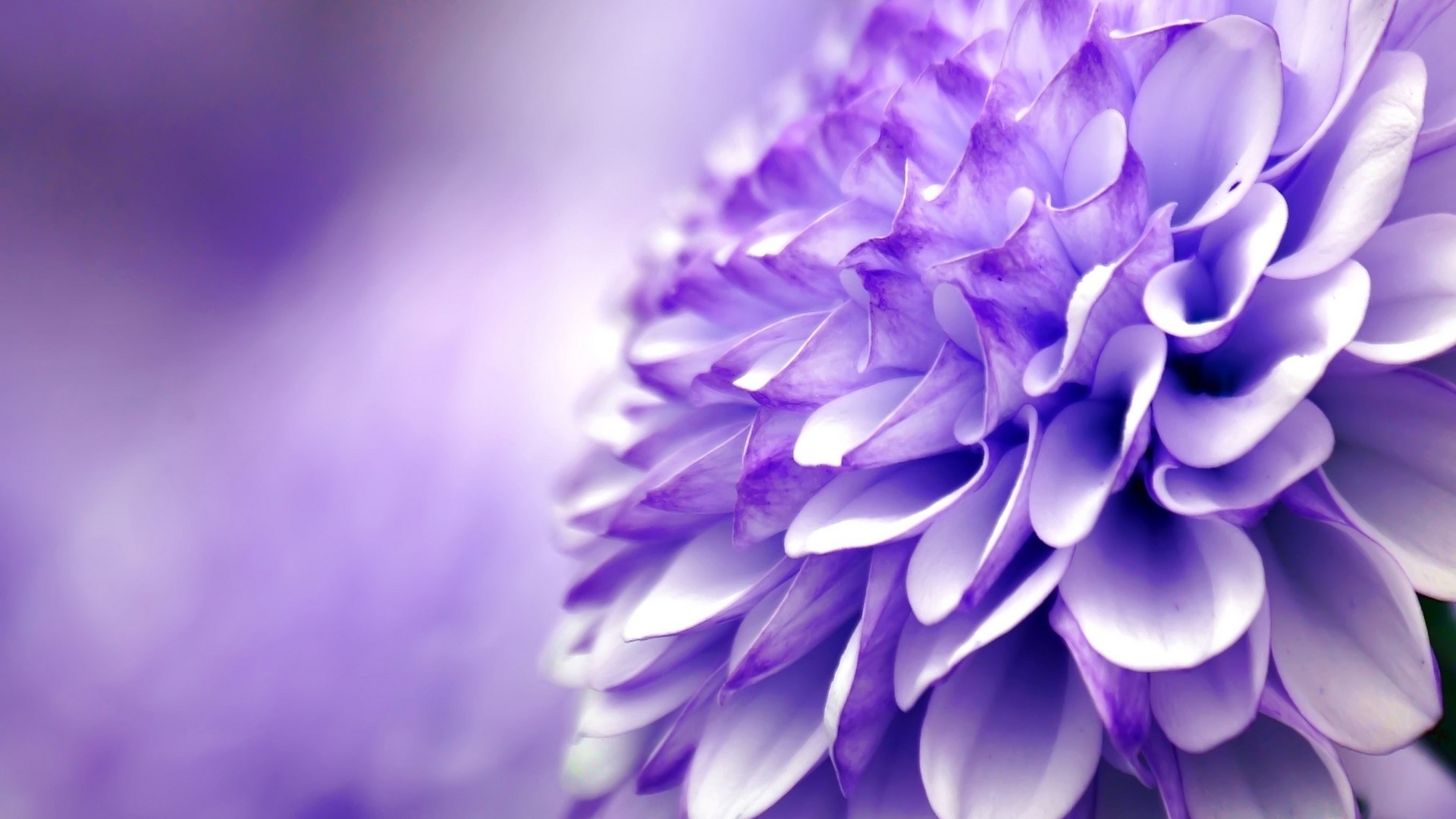 macro blue flower wallpaper - photo #18